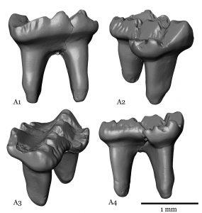 Die fossilen Zähne sind der erste Nachweis von Säugetieren aus dem Erdmittelalter in NRW. Graphik: LWL, Schwermann.