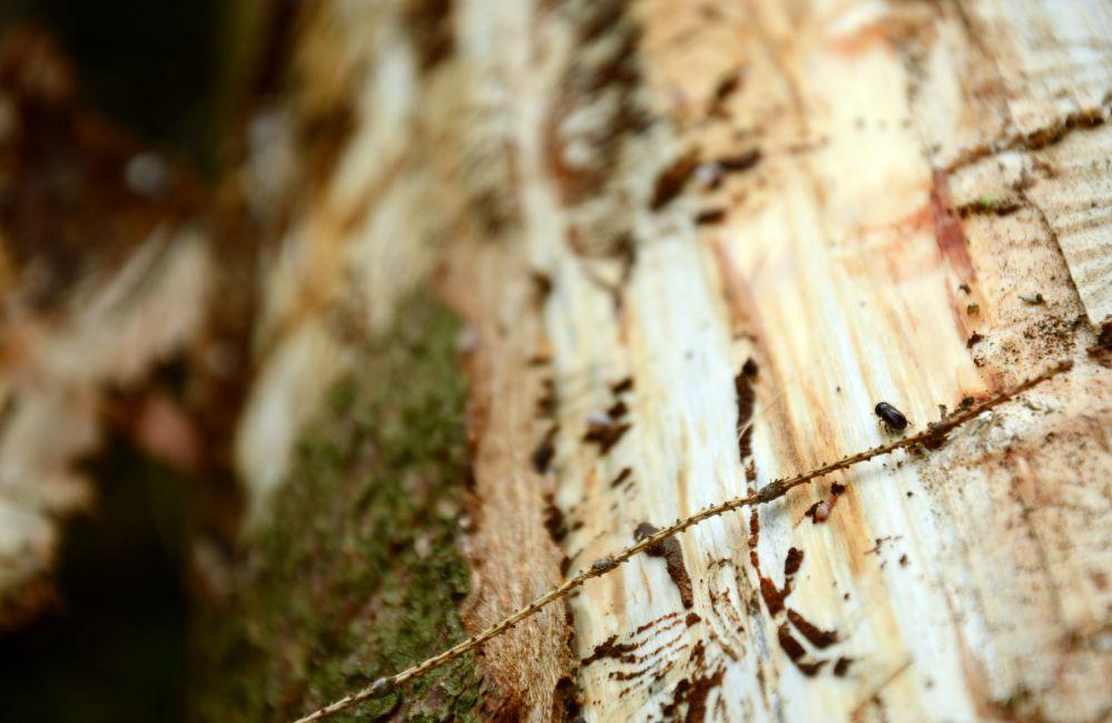 Kleiner Käfer, großer Schaden: Ein Borkenkäfer krabbelt über eine gefällte Fichte. Foto: Jürgen Bröker