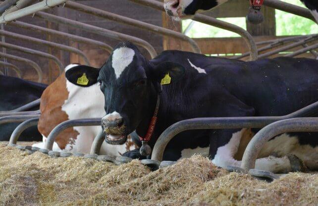 Kühe in einem Stall auf Haus Düsse in Bad Sassendorf. Foto: Jürgen Bröker