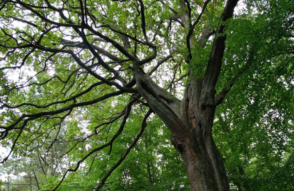 In Lippe sollen verstärkt Eichen auf den frei gewordenen Waldflächen gesetzt werden. Foto: Landesverband Lippe