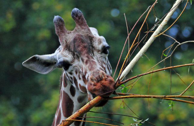 Die Giraffen im Allwetterzoo hören jetzt Radio. Foto: Allwetterzoo