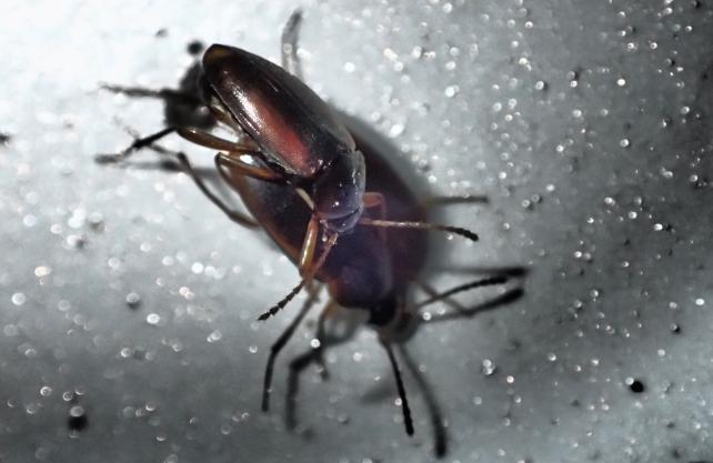 Diese Fledermaus-Höhlenkäfer sind waschechte Westfalen. Sie kommen weltweit nur in einer Höhle im Kreis Lippe vor. Foto: Höhlenfreunde Hannover, Jürgen Tuschinsky