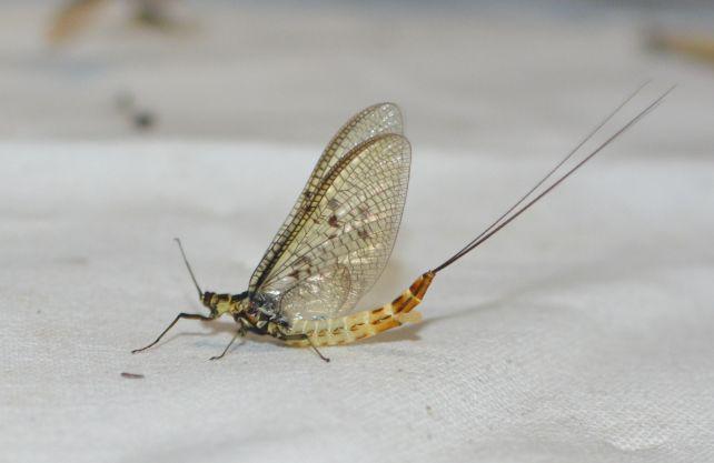 Die Dänische Eintagsfliege ist das Insekt des Jahres 2021. Foto: Jürgen Bröker/wsp