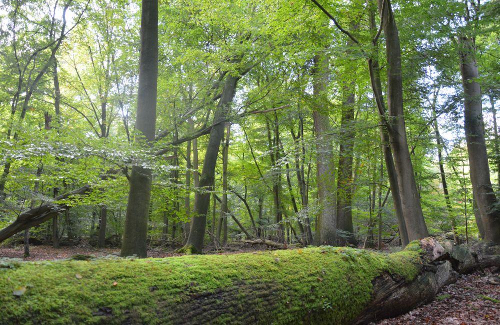 """Seit mehr als 100 Jahren hat der Mensch in der Naturwaldzelle """"Teppes Viertel"""" in Münster nicht mehr eingegriffen. Foto: Jürgen Bröker"""