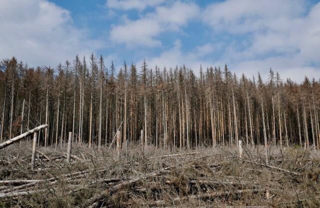 Teilweise sind ganze Gebiete vom Borkenkäfer befallen. Dort müssen die kranken Bäume schnellst möglich gefällt und abtransportiert werden, damit sich der Schädling nicht weiter ausbreiten kann. Foto: pixabay