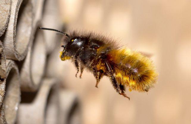 Mehr als 50 Prozent der Wildbienen-Arten sind in NRW bedroht, sagt der BUND. Foto: pixaby